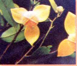 ดอกลำดวน