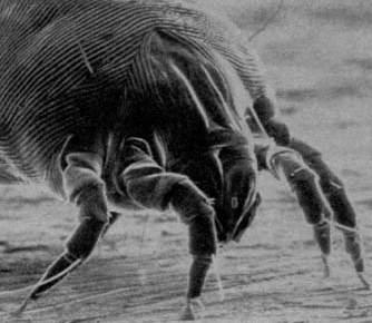 Dust Mite ไรฝุ่น