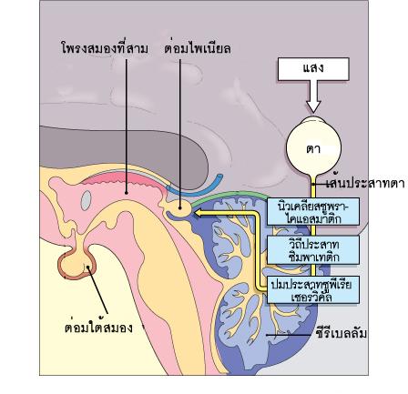 ตำแหน่งของต่อมไพเนียลและเส้นทางของสัญญาณประสาทจากตาสู่ต่อมไพเนียล